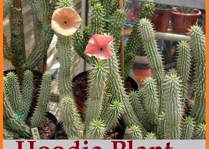 plant-hoodia-diet.jpg